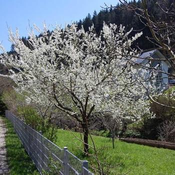 Blomstrende frukttrær langs Mostviertel Panoramastrasse, Niederösterreich, Østerrike.