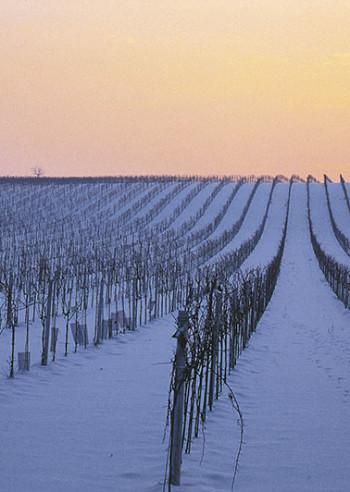 Vingård i vinterkledning i nærheten av Oggau, Burgenland