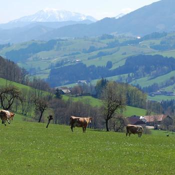 Våryr - Kuer som nettopp er sluppet ut på beite, Mostviertel, Niederösterreich, Østerrike.
