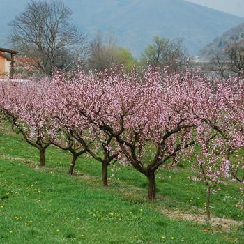 Blomstrende aprikostrær i Wachau, Niederösterriech, Østerrike