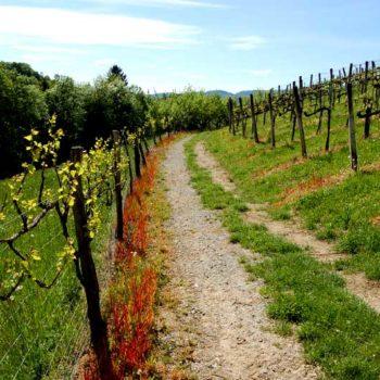 Vinvandring gjennom vinranker i det sørlige Steiermark, Østerrike