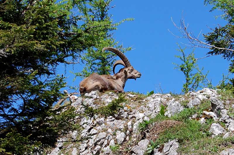 Alpesteinbukker som ligger ved Hochlantsch, Almenland, Steiermark, Østerrike